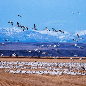 migrating birds at Freezeout Lake